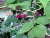 7-16rasberry